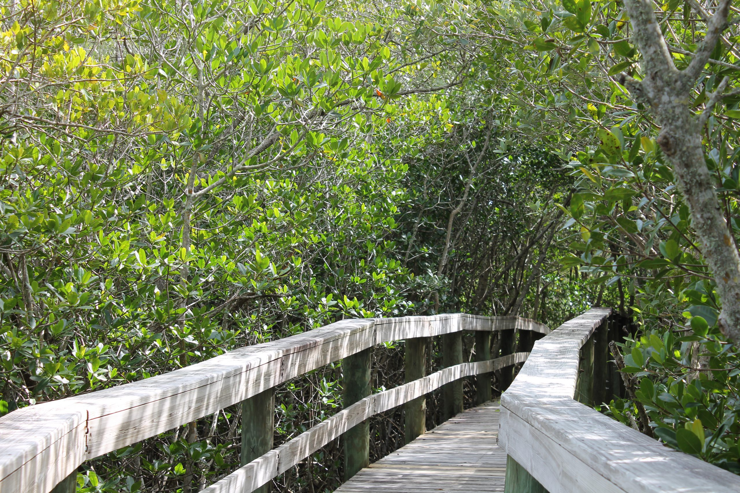 Wooden boardwalk through the mangroves
